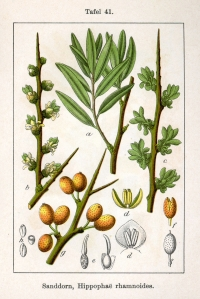 "<a href=""http://en.wikipedia.org/wiki/Sea-buckthorn"">Sea Buckthorn berries</a> are tasty"